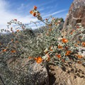 Desert mallow (Sphaeralcea ambigua) along the Lost Horse Mine Trail.- Lost Horse Mine Hike