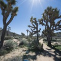 Joshua trees (Yucca brevifolia) along the Lost Horse Loop Trail.- Lost Horse Loop Trail
