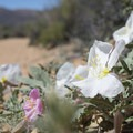 California evening primrose (oenothera californica) along the Lost Horse Loop Trail.- Lost Horse Loop Trail