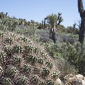 Mojave mound cactus (Echinocereus mojavensis) along the Lost Horse Loop Trail.- Lost Horse Loop Trail