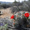 Mojave mound cactus (Echinocereus mojavensis) along the Lost Horse Mine Trail.- Lost Horse Loop Trail