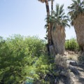 California fan palms (Washingtonia filifera) at the Oasis of Mara.- Oasis of Mara