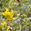 Creosote bush (Larrea tridentata) at the Oasis of Mara.- Oasis of Mara