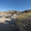 Acton encelia (Encelia actoni) along the Fortynine Palms Oasis Trail.- Fortynine Palms Oasis Hike