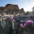 Beavertail cactus (Opuntia basilaris) along the Fortynine Palms Oasis Trail.- Fortynine Palms Oasis Hike