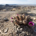 Hedgehog cactus (Echinocereus engelmannii) along the Fortynine Palms Oasis Trail.- Fortynine Palms Oasis Hike