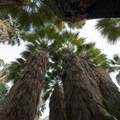 California fan palms (Washingtonia filifera) in the Fortynine Palms Oasis.- Fortynine Palms Oasis Hike