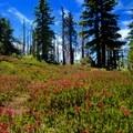 Wildflowers along the Vista Ridge Trail.- Cairn Basin + McNeil Point via the Vista Ridge Trail