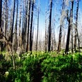 Trail through beargrass and burned forest.- Cairn Basin + McNeil Point via the Vista Ridge Trail