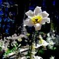 Avalanche lily (Erythronium montanum).- Cairn Basin + McNeil Point via the Vista Ridge Trail