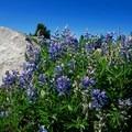 Purple lupine (Lupinus polyphyllus).- Cairn Basin + McNeil Point via the Vista Ridge Trail