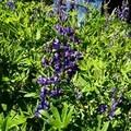 Purple lupine.- Cairn Basin + McNeil Point via the Vista Ridge Trail