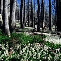 Carpet of avalanche lilies.- Cairn Basin + McNeil Point via the Vista Ridge Trail