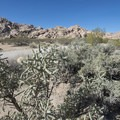 Pencil cholla (Cylindropuntia ramosissima) at Indian Cove Day Use Picnic Area.- Indian Cove Day Use Picnic Area