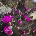 Beavertail cactus (Opuntia basilaris) along the Indian Cove Nature Trail.- Indian Cove Nature Trail