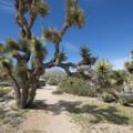 Joshua tree (Yucca brevifolia) at Black Rock Canyon Campground.- Black Rock Canyon Campground