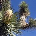 Bloom of a Joshua Tree.- Barker Dam Trail