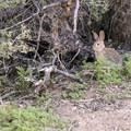 Desert cottontail hiding in the brush.- Barker Dam Trail