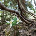 Trillium (Trillium grandiflorum).- Battle Ax Mountain