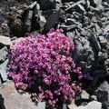 Wildflowers.- Battle Ax Mountain