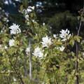 Serviceberry (Amelanchier).- Battle Ax Mountain