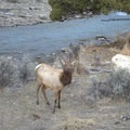 Elk near the parking area for the Boiling River.- Boiling River Hot Springs