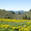 Wandering in the arrowleaf balsamroot.- Memaloose Hills Trail