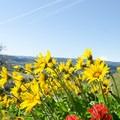 Arrowleaf balsamroot, castilleja and Mount Hood (11,250 ft).- Memaloose Hills Trail