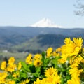Arrowleaf balsamroot and Mount Hood (11,250 ft).- Memaloose Hills Trail
