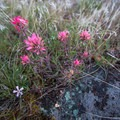Indian paintbrush lines the shore in the spring.- Owyhee River: Rome to Birch Creek