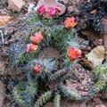 Cactus flowers along the San Rafael River.- Little Grand Canyon of the San Rafael