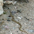 The only living reptile seen on this excursion.- Cleveland-Lloyd Dinosaur Quarry