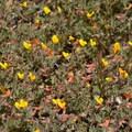 Blooming flowers along the Canyon Oak Trail.- Canyon Oak Trail