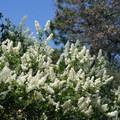 Blooming shrub along the Canyon Oak Trail.- Canyon Oak Trail