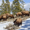 Herd of American Bison in Yellowstone National Park.- Lamar Valley