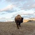 Bison in Lamar Valley, Yellowstone National Park.- Lamar Valley