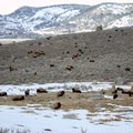 Herd of bison in Lamar Valley in Yellowstone National Park.- Lamar Valley