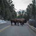 Watch for bison on the roads throughout Yellowstone National Park.- Lamar Valley
