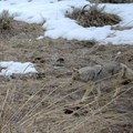 Coyote looking for a snack in Yellowstone National Park.- Lamar Valley