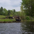 Cows share the river in the final stretch above High Falls Reservoir.- Beaver River Canoe Trail