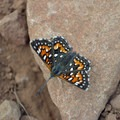 Close up of a butterfly along the Kwaay Paay Peak Trail. - Kwaay Paay Peak Trail