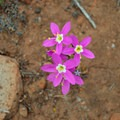 Flowers in bloom along the Kwaay Paay Peak Trail.- Kwaay Paay Peak Trail