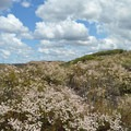 California buckwheat in full bloom.- Kwaay Paay Peak Trail