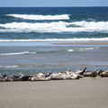 Harbor seals along the Oregon Coast.- Carter Lake Campground