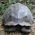 Galápagos giant tortoise at the Manzanita Ranch.- Manzanita Ranch