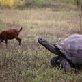 Galápagos giant tortoise compared to a goat.- Manzanita Ranch