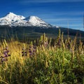 Gorgeous Mount Shasta and wonderful mountain lupine.- Yellow Butte
