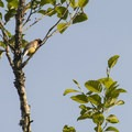 Cedar waxwing (Bombycilla cedrorum) in a a red alder tree (alnus rubra) along Deer Lake.- Lakeside (Deer Lake) Campground