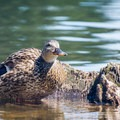 A female mallard in the Spokane River at Boulder Beach.- Spokane River, Boulder Beach