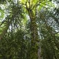 Giant bigleaf maple (Acer macrophyllum) along the trail to Bridal Veil Falls.- Bridal Veil Falls